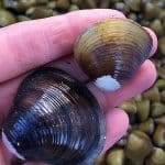 Plankton and Clam Research for Regional San